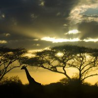 Солнце село над саванной :: Марина Мудрова