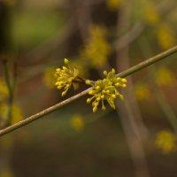 Зацветают дерева. :: Лилия Гудкова