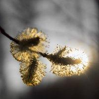 Весна в лесу - зацвела верба :: Сергей Добрыднев