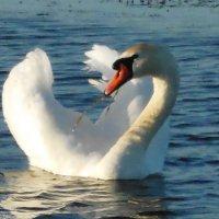 Лебедь смотритель озера :: игорь