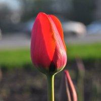 Тюльпан :: Albina