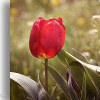 Одинокий красный тюльпан... :: Аnatoly Polyakov