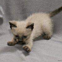 Я подрос!-из серии Кошки очарование мое! :: Shmual Hava Retro