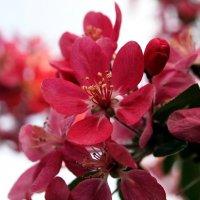 Red blossom :: Олег Шендерюк