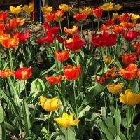 Отцветают тюльпаны :: Нина Бутко