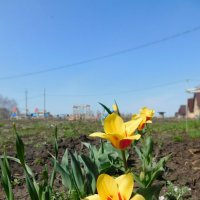 Солнечные тюльпаны :: Ольга Алеева