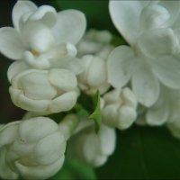 Грёзы белой сирени :: Нина Корешкова