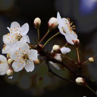 Весеннее цветение :: Paparazzi