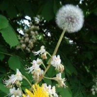 Весной цветущие каштаны мечтают летать как одуванчики... :: Алекс Аро Аро