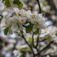 яблони в цвету :: жанна