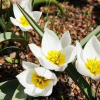 Тюльпан многоцветный :: Елена Смолова