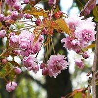 Цветёт вишня :: Маргарита Батырева
