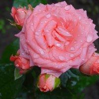 Розы в апреле... :: Тамара (st.tamara)