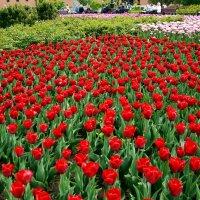 Среди тюльпанов :: Владимир Болдырев