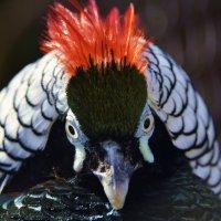 Алмазный фазан :: Светлана Винокурова