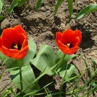 Первые тюльпаны... :: Наиля
