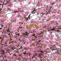 В розовых тонах :: Марина Кит