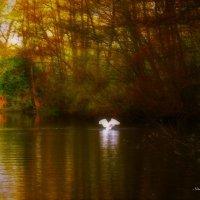 В золотых лучах на изумрудной глади лебедь крылья свои раскрыл :: Nina Yudicheva
