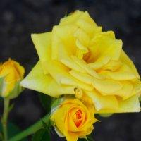 Жёлтая розочка апреля... :: Тамара (st.tamara)