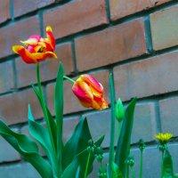 И зацвели тюльпаны :: Юрий Стародубцев