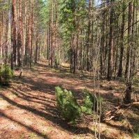 По дорожке в солнечном лесу :: Юрий Кузмицкас