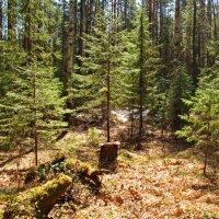 В солнечном лесу :: Юрий Кузмицкас