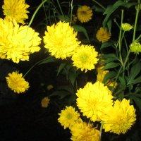 Золотой шар(цветы) :: Valentina