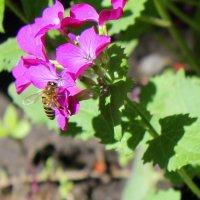 Про пчёлку. :: Валентина ツ ღ✿ღ