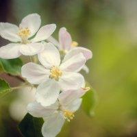 цветущая яблоня :: Katya Briz
