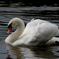 Лебедь :: ирина Пронина