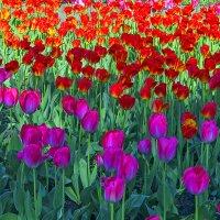 Тюльпаны(1) :: Сергей Фомичев