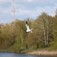 Чайка над прудом(2) :: Александр Буянов