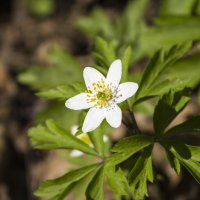 Первые цветы :: Sergey Lebedev