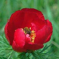 Аленький цветочек. :: Наталья