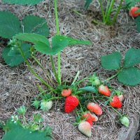 Долгожданные ягоды!!! :: Светлана Масленникова