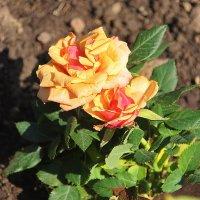 Весенний бал открывают розы.... :: Tatiana Markova