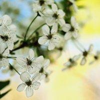 цветение вишни :: Oleksii Roshka
