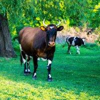 Корова :: Мария