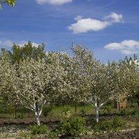 Один раз в год сады цветут ........... :: Олег