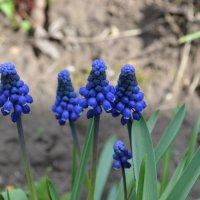 Синие цветы :: Сергей Тагиров