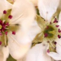 цветение груши :: Лолита Арндт