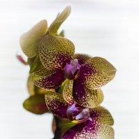 Весенняя орхидея. :: Дмитрий Перов