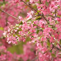 Розовое цветение :: Yelena LUCHitskaya