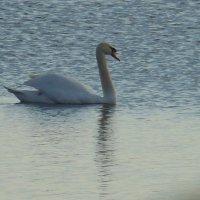 Лебедь на плаву :: игорь