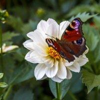 Butterfly :: Евгений Садиков