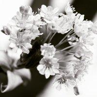 цветочки :: Nikita S