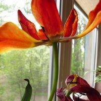 Вянут тюльпаны :: Ирина Хан