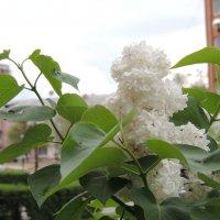 Белая сирень - самая красивая :: Евгения Чередниченко