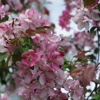 Яблони пышное цветение... :: Balakhnina Irina