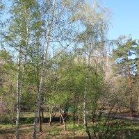 Распускаются деревья :: Олег Афанасьевич Сергеев